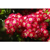 Crataegus laevigata Crimson Cloud