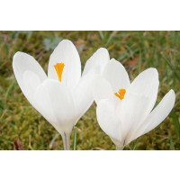 Crocus vernus 'Joan of Arc' flowers