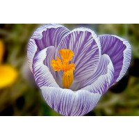 Crocus vernus 'Pickwick' flower