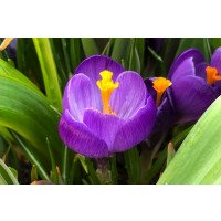 Crocus vernus Flower Record bulbs