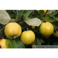 Serbian Gold Quinces on the tree