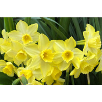 Narcissus 'Pipit' Daffodil Bulbs