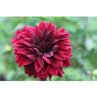 Sam Hopkins Dahlia flower