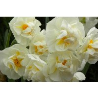 Narcissus 'Cheerfulness' flowers