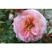 Dearest floribunda Rose