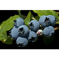 Ripe Duke Blueberries on the bush