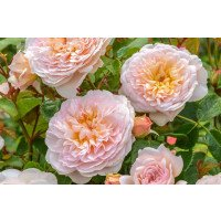 Emily Bronte Roses (Ausearnshaw)