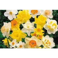 Exotic Daffodil Narcissus Mix