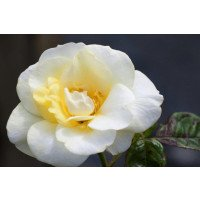Gardeners Glory Rose flower