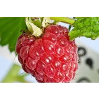 Glen Moy Raspberries
