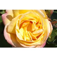 Golden Jubilee Hybrid Tea rose in flower
