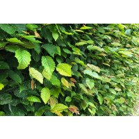 Hornbeam Hedging (Packs of 50 plants)