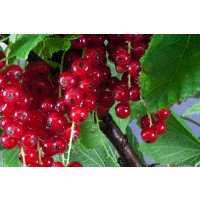 Junifer Redcurrants