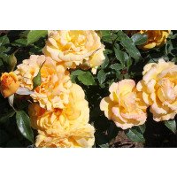 Climbing Lady Hillingdon rose