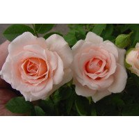 Lovely Bride Patio Rose