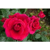 Rosa Lovestruck  in July