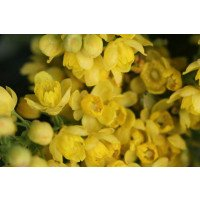 Mahonia aquifolium flowers in winter