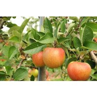 Bardsey Island Apples on the tree
