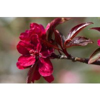 Royalty Crab apple Blossom