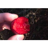 Perfect Ruby Mirabelle plum