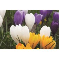 Crocuses for naturalising