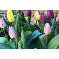 Mixed Single Early Flowering Tulips