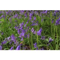 English bluebell (Hyacinthoides non-scripta) flowers