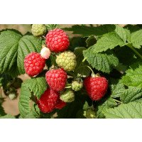 Octavia Raspberries on the bush