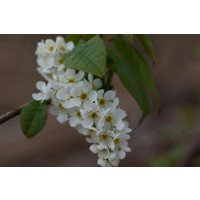 Prunus Padus flowers