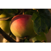 Peasgood Nonsuch Apples on the tree
