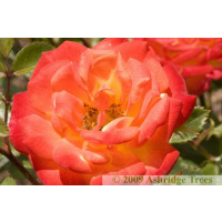 Irish Eyes Floribunda Rose
