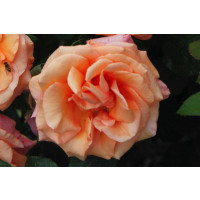 Warm Wishes Hybrid Tea Rose