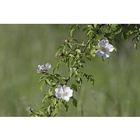 Rosa arvensis, Field Rose, flowers & leaves