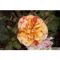 Oranges and Lemons - Floribunda Rose