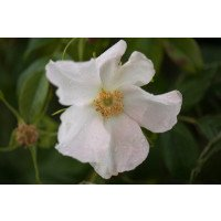 White Rugosa Rose Flowers