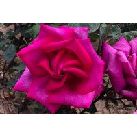 Buxom Beauty Hybrid Tea Rose Flower