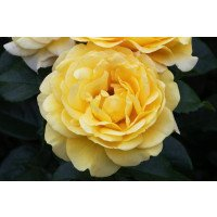Golden Smiles Floribunda Rose flower