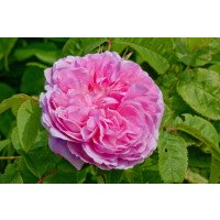 Jacques Cartier Shrub Rose flower