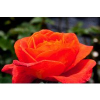 Super Trouper Floribunda Rose