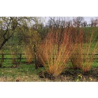 White Willow (Coppiced)