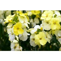 Primrose Bedder Wallflowers