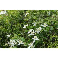White Anemone Clematis flowers