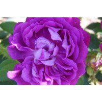 William Lobb old shrub moss rose flower