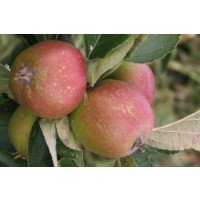 Ashmeads Kernel Apples for sale