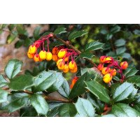 Darwin's Barberry hedging in bud