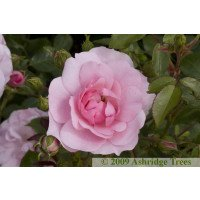Bonica - Shrub Rose