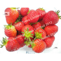 Elsanta Strawberry Plants for Sale