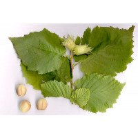 Corylus avellana Leaves & Nuts