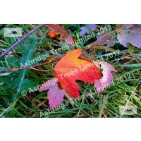 Acer rubrum, Red Maple Leaf in Autumn
