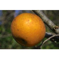 Ripe Egremont Russet Apple